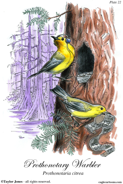 Prothonotary Warbler -  by Taylor Jones