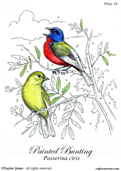 Painted Bunting -  by Taylor Jones
